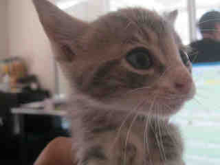 Mix-Bred DOMESTIC SHORTHAIR Male  Young  Kitten #A346455#  - click here to view larger pic