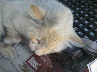 Mix-Bred DOMESTIC SHORTHAIR Male  Adult  Cat #A346477#  - click here to view larger pic
