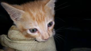 Mix-Bred DOMESTIC SHORTHAIR Male  Young  Kitten #A346507#  - click here to view larger pic