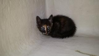 Mix-Bred DOMESTIC MEDIUMHAIR Female  Young  Kitten #A346508#  - click here to view larger pic