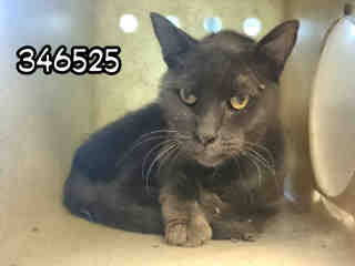 Mix-Bred DOMESTIC MEDIUMHAIR Male  Older  Cat #A346525#  - click here to view larger pic