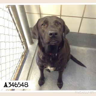 LABRADOR RETRIEVER Female  Adult  Dog #A346548#  - click here to view larger pic
