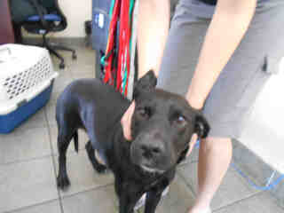 Mix-Bred LABRADOR RETRIEVER Female  Adult  Dog #A346564#  - click here to view larger pic