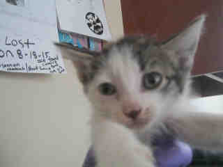Mix-Bred DOMESTIC SHORTHAIR Female  Young  Kitten #A347138#  - click here to view larger pic