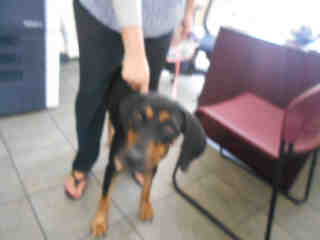 <u> Mix-Bred DOBERMAN PINSCHER Female  Adult  Dog  (Secondary Breed: BLEND)</u>