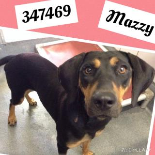 Mix-Bred DOBERMAN PINSCHER Female  Adult  Dog #A347469#  - click here to view larger pic