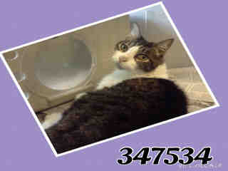 Mix-Bred DOMESTIC SHORTHAIR Male  Older  Cat #A347534#  - click here to view larger pic