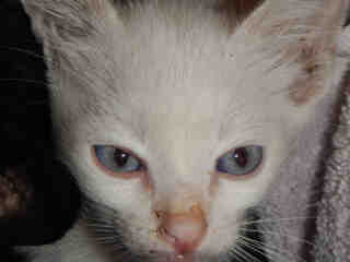 Mix-Bred DOMESTIC SHORTHAIR Male  Young  Kitten #A347888#  - click here to view larger pic