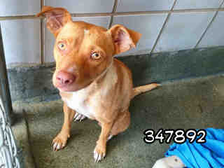 Mix-Bred TERRIER Female  Adult  Dog #A347892#  - click here to view larger pic