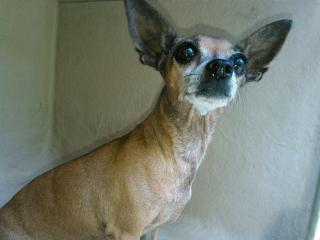<u> Mix-Bred CHIHUAHUA - SMOOTH COATED Female  Adult  Dog  (Secondary Breed: BLEND)</u>