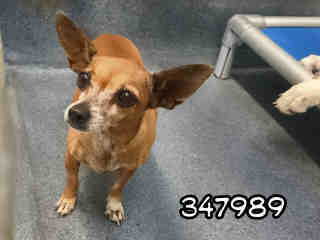 Mix-Bred CHIHUAHUA - SMOOTH COATED Female  Adult  Dog #A347989#  - click here to view larger pic