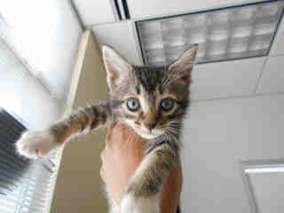 Mix-Bred DOMESTIC SHORTHAIR Female  Young  Kitten #A348012#  - click here to view larger pic