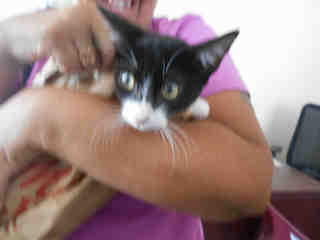 Mix-Bred DOMESTIC SHORTHAIR Female  Young  Kitten #A348051#  - click here to view larger pic