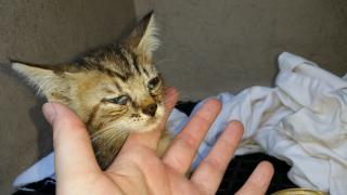 Mix-Bred DOMESTIC SHORTHAIR Male  Young  Kitten #A348395#  - click here to view larger pic