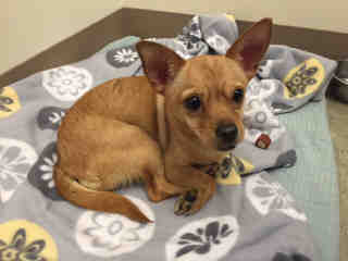 CHIHUAHUA - SMOOTH COATED Female  Adult  Dog #A348415#  - click here to view larger pic