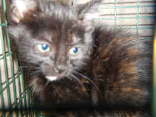 Mix-Bred DOMESTIC SHORTHAIR Female  Young  Kitten #A348442#  - click here to view larger pic
