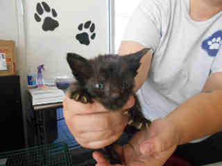 Mix-Bred DOMESTIC SHORTHAIR Male  Young  Kitten #A348455#  - click here to view larger pic