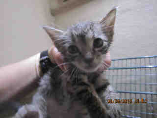 Mix-Bred DOMESTIC SHORTHAIR Male  Young  Kitten #A348538#  - click here to view larger pic