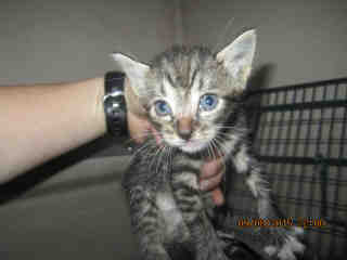Mix-Bred DOMESTIC SHORTHAIR Male  Young  Kitten #A348539#  - click here to view larger pic