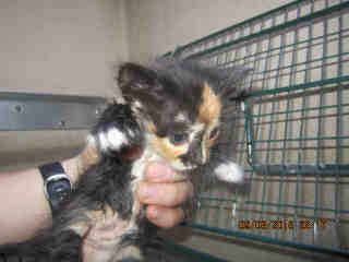 Mix-Bred DOMESTIC SHORTHAIR Female  Young  Kitten #A348540#  - click here to view larger pic