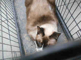 SNOWSHOE Female  Older  Cat #A348573#  - click here to view larger pic