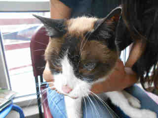 SNOWSHOE Female  Older  Cat #A348574#  - click here to view larger pic