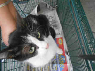 Mix-Bred DOMESTIC SHORTHAIR Female  Young  Kitten #A348587#  - click here to view larger pic