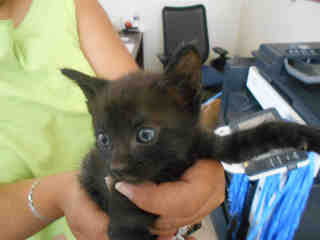 Mix-Bred DOMESTIC SHORTHAIR Male  Young  Kitten #A348588#  - click here to view larger pic