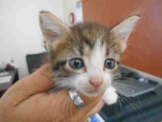 Mix-Bred DOMESTIC SHORTHAIR Female  Young  Kitten #A348591#  - click here to view larger pic