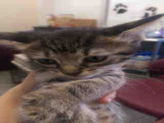 Mix-Bred DOMESTIC SHORTHAIR Female  Young  Kitten #A348840#  - click here to view larger pic