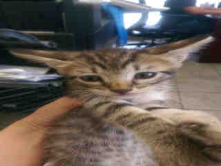 Mix-Bred DOMESTIC SHORTHAIR Male  Young  Kitten #A348841#  - click here to view larger pic