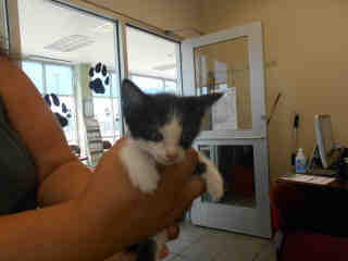 Mix-Bred DOMESTIC SHORTHAIR Male  Young  Kitten #A348974#  - click here to view larger pic