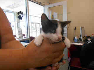 Mix-Bred DOMESTIC SHORTHAIR Male  Young  Kitten #A348976#  - click here to view larger pic