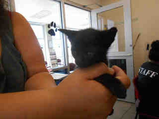 Mix-Bred DOMESTIC SHORTHAIR Male  Young  Kitten #A348978#  - click here to view larger pic