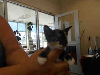Mix-Bred DOMESTIC SHORTHAIR Male  Young  Kitten #A348979#  - click here to view larger pic