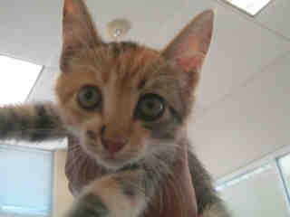 Mix-Bred DOMESTIC SHORTHAIR Female  Young  Kitten #A348982#  - click here to view larger pic