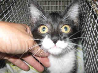 Mix-Bred DOMESTIC SHORTHAIR Male  Young  Kitten #A349095#  - click here to view larger pic