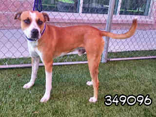 Mix-Bred AMERICAN STAFFORDSHIRE TERRIER Male  Adult  Dog #A349096#  - click here to view larger pic