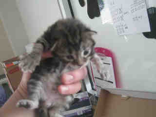 Mix-Bred DOMESTIC SHORTHAIR Female  Young  Kitten #A349187#  - click here to view larger pic
