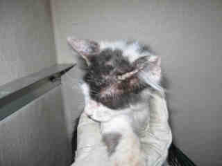 Mix-Bred DOMESTIC SHORTHAIR Female  Young  Kitten #A349229#  - click here to view larger pic