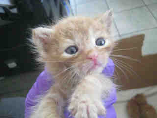 Mix-Bred DOMESTIC SHORTHAIR Male  Young  Kitten #A349306#  - click here to view larger pic