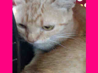 Mix-Bred DOMESTIC SHORTHAIR Female  Young  Kitten #A349335#  - click here to view larger pic