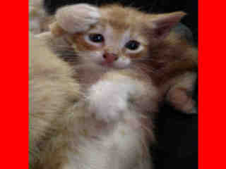 Mix-Bred DOMESTIC SHORTHAIR Young  Kitten #A349347#  - click here to view larger pic
