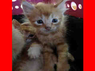 Mix-Bred DOMESTIC SHORTHAIR Young  Kitten #A349349#  - click here to view larger pic