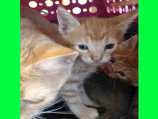 Mix-Bred DOMESTIC SHORTHAIR Young  Kitten #A349350#  - click here to view larger pic