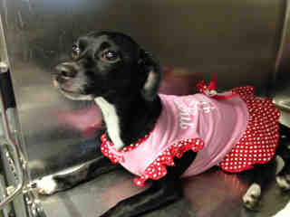 CHIHUAHUA - SMOOTH COATED Female  Young  Puppy #A349416#  - click here to view larger pic