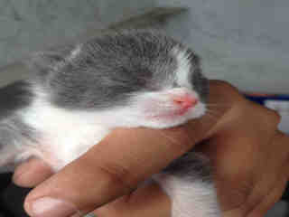 Mix-Bred DOMESTIC SHORTHAIR Female  Young  Kitten #A349580#  - click here to view larger pic