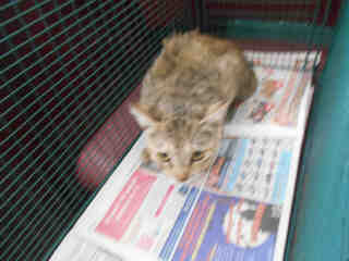 Mix-Bred DOMESTIC SHORTHAIR Female  Adult  Cat #A349690#  - click here to view larger pic