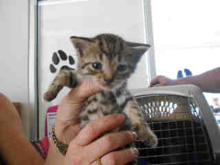 Mix-Bred DOMESTIC SHORTHAIR Female  Young  Kitten #A349691#  - click here to view larger pic