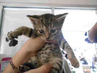 Mix-Bred DOMESTIC SHORTHAIR Female  Young  Kitten #A349693#  - click here to view larger pic